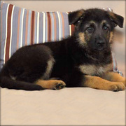 GORGEOUSE GERMAN SHEPHERD PUPPIES NOW READY FOR SALE