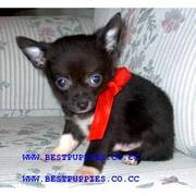 KC registered Teacup puppies...he will grow up to
