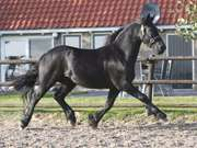 Effective available friesian gelding for sale
